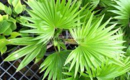 Livistona-rotundifolia-26