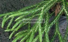 Lycopodium-carinatum-Huperzia-carinata