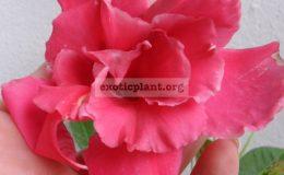 Mandevilla-x-amabilis-Pink-Parfeit