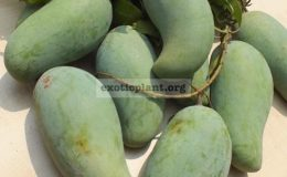 Mangifera-indica-Mun-Salaya-30-This-variety-easy-to-flowering-and-fruit-set-round-year.-Good-for-eating-the-raw-fruit-with-sweet-taste-and-crispy-flesh