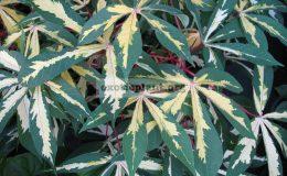 Manihot-esculenta-variegated