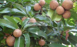 Manilkara-zapota-round-fruit-30