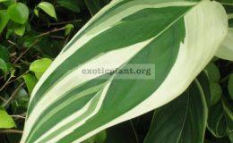 Marantha-arundianacea-variegata-20