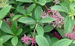 Medinilla-cumingii-small-leaf-