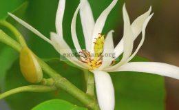Michelia-alba-