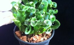Microsorum-Dwarf-Screw-Fern-40