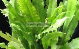 Microsorum-punctatum-cv.-Liciniatum-
