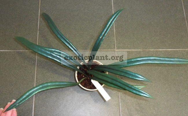 Microsorum-thailandicum