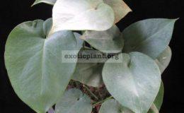 Monstera-sp.-Blue-heart-leaf-30-50-пример-взрослого-растения