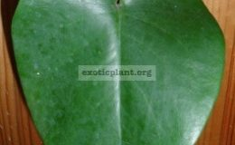 Monstera-sp.-Blue-heart-leaf-30-50
