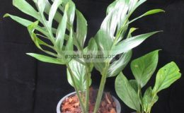 Monstera-sp.-T04-Southern-Thailand-30-75-