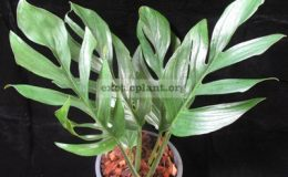 Monstera-sp.-T04-Southern-Thailand-30-75-1-1