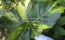 Morinda-citrifolia-variegata