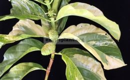 Morinda-citrifolia-yellow-variegatedgrafted-60