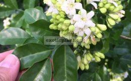 Murraya-paniculata-Snowball-oval-leaf-28