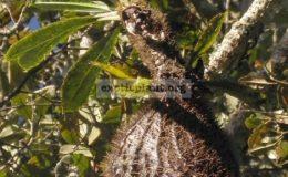 Myrmecodia-tuberoba-