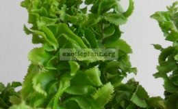 Nephrolepis-davalloides-cv-Green-Dragon-500-
