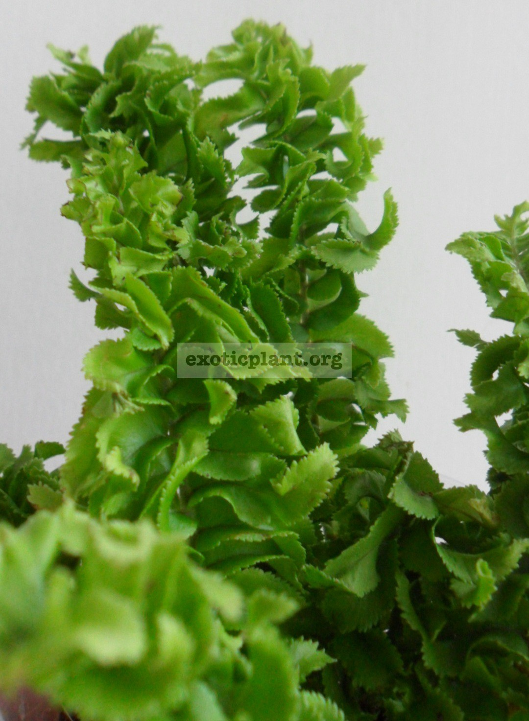 Nephrolepis davalloides cv Green Dragon 12