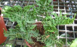 Nephrolepis-exaltata-Curly-leaf-