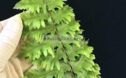 Nephrolepis-exaltata-Hillii-special-38-