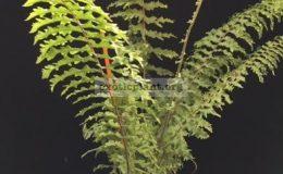 Nephrolepis-exaltata-Hillii-special-38