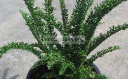 Nephrolepis-exaltata-cv.-Wagneri-small-leaf