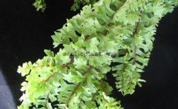 Nephrolepis-falcata-Mermaidtail-Compact-form-35