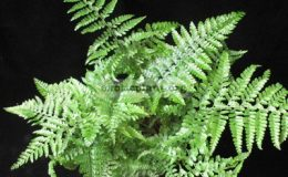 Nephrolepis-sp.T03
