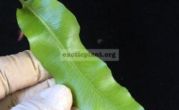 Oleandra-sp.T01-Chanthaburi-30-