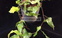 Oleandra-sp.T01-Chanthaburi-30