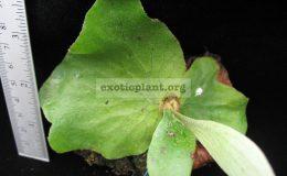 P.-stemaria-wax-leaf-