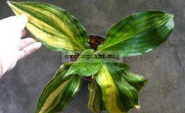 Palisota-barteri-variegated-75