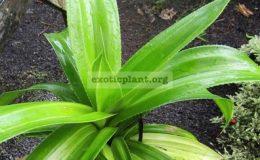 Pandanus-dubius-variegated