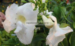 Pandorea-jasminoides-Lady-Di