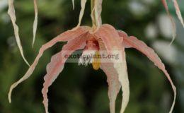 Paphinia-herrerae