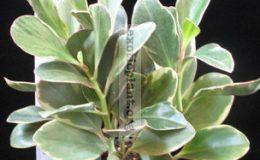 Peperomia-clusifolia-Tricolor-10-e1458418033829