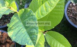 Petrea-volubilis-variegated-