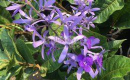 Petrea-volubilis-variegated-1-1