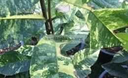 Petrea-volubilis-variegated