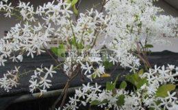 Petrea-volubilis-white-flowerTF-30