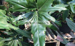 Philodendron-Angela-hybrid3-23-пример-взрослого-листа