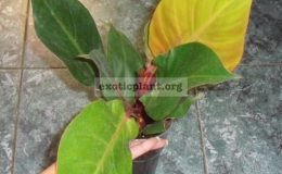 Philodendron-Cherry-Red-14