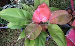 Philodendron-Cherry-Red-Mosaic-75