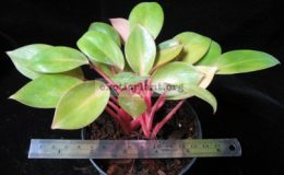 Philodendron-Congo-Red-Dwarf