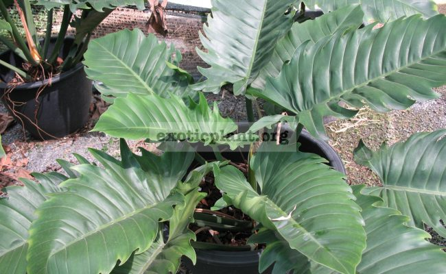 Philodendron-Pin-Amphan