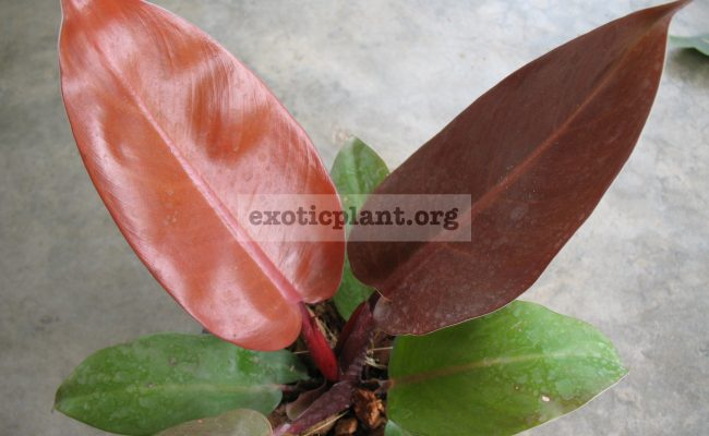 Philodendron-Siam-Red