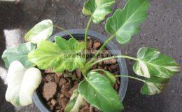Philodendron-Xanadu-variegatedSmall-leaf-3900-