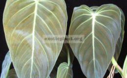 Philodendron-andreanum-сверху-longifolia-снизу-