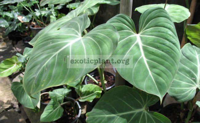 Philodendron-gloriosum-пример-взрослого-растения