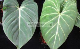 Philodendron-gloriosum-No.2-слева-обычный-глориозум-справа-№2